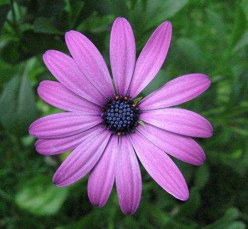 650px-Purple_osteospermum