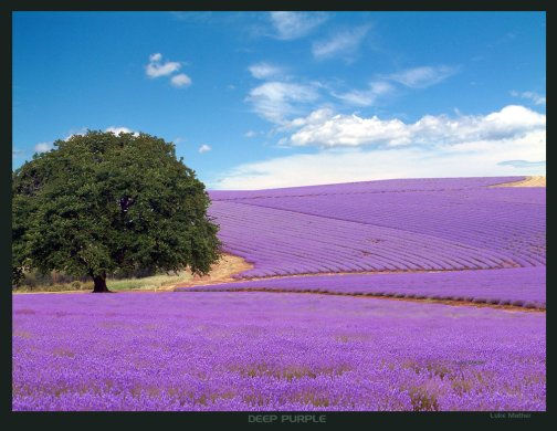 Deep_Purple_Lavender